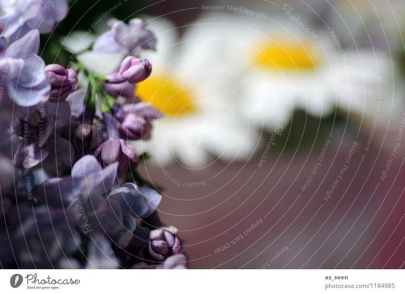 summerflowers Lifestyle Elegant Beautiful Wellness Harmonious Well-being Garden Mother's Day Wedding Plant Flower Blossom Lilac Marguerite Daisy Chamomile