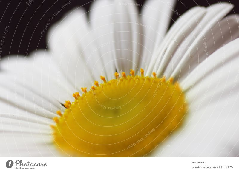 Nature Plant Beautiful Summer White Sun Flower Calm Yellow Life Spring Blossom Feasts & Celebrations Garden Lifestyle Fashion