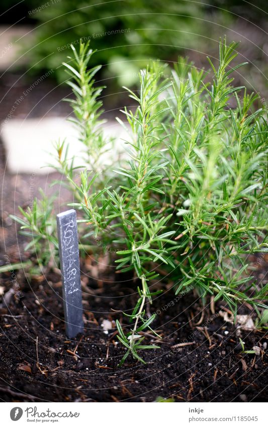 rosemary Herbs and spices Nutrition Spring Summer Agricultural crop Herb garden Rosemary Garden Characters Signs and labeling Fresh Healthy Green Sustainability
