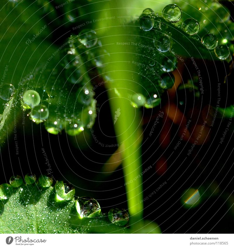 Dew drops 3 Drops of water Clarity Fresh Clean Pure Leaf Green Glittering Light Morning Grass Transparent Background picture Meadow Macro (Extreme close-up)