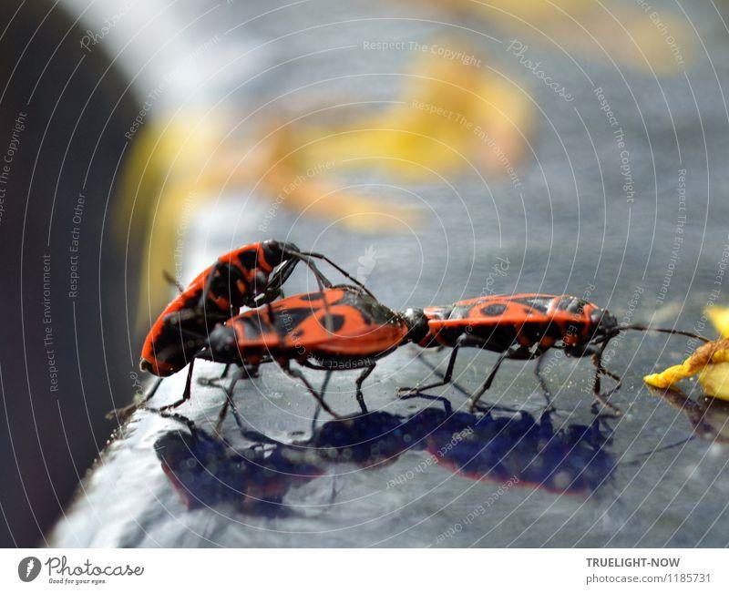 "In the limelight, ""I want some too!!!"" Environment Nature Animal Sun Sunlight Summer Beautiful weather Garden Beetle Common fire bug (Pyrrhocoris apterus) 3"