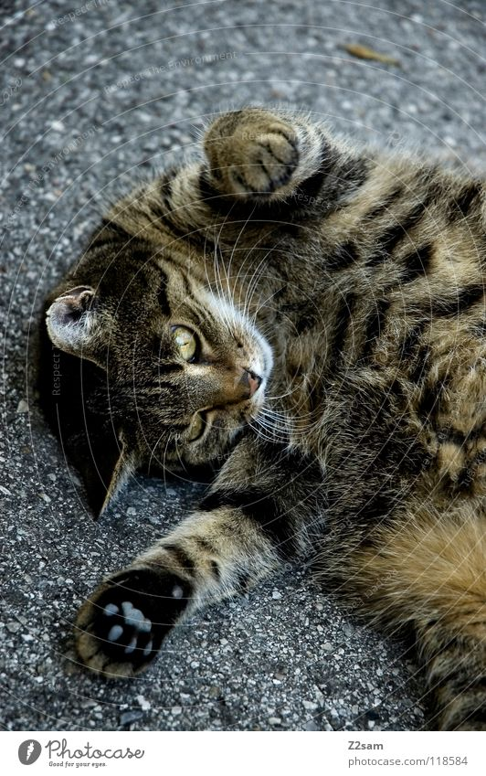 rockman stretching Warming up Aerobics Distend Cat Animal Pelt Pattern Tar Concrete Sweet Paw Tails Cute Pet Living or residing Movement Gymnastics Street Lie