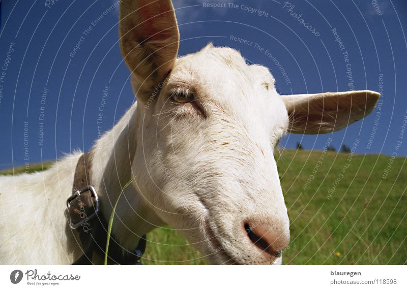 Swiss cream goat Goats Switzerland Goat`s cheese Mammal creamed goat green meadow Blue sky White goat