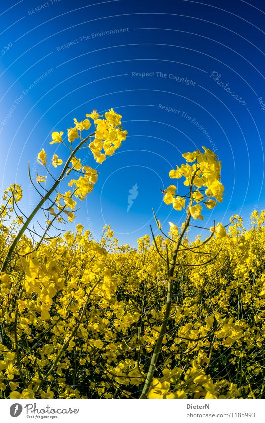 Skywards Plant Cloudless sky Spring Blossom Agricultural crop Field Blue Yellow Green Canola Canola field Oilseed rape flower Oilseed rape cultivation Contrast