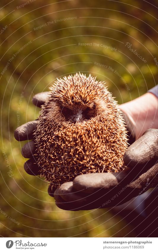hedgehog ball Wild animal 1 Animal Hedgehog Spherical Autumn Garden rearing Spine Colour photo Day