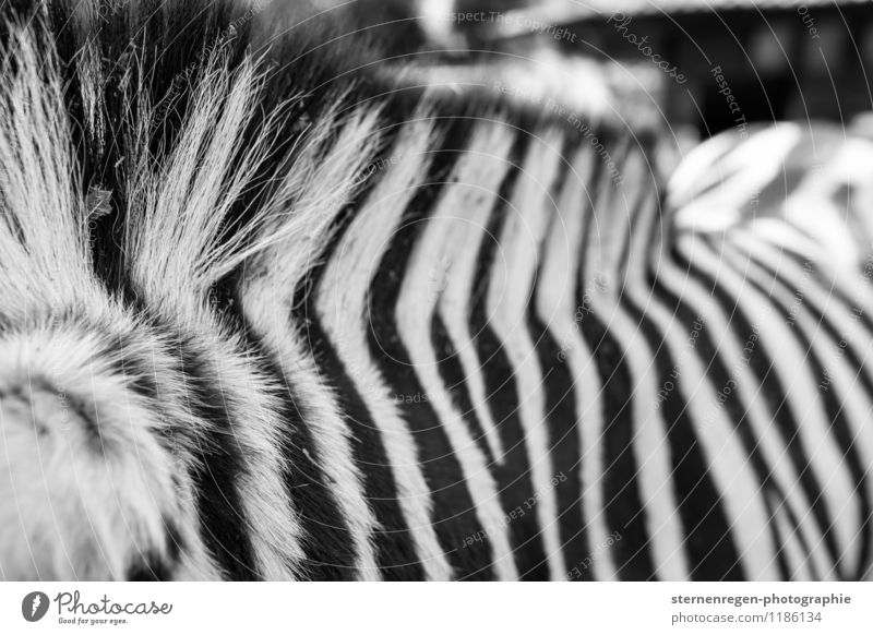 chipmunks Animal Wild animal Zoo Petting zoo Feeding Zebra Stripe Black & white photo Hair and hairstyles Exterior shot Contrast Shallow depth of field