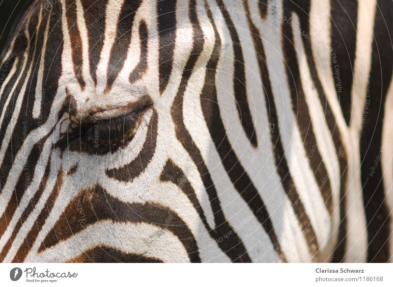 zebra eye Ride Vacation & Travel Trip Adventure Safari Desert Quagga Steppe Animal Horse Zoo Zebra 1 Observe Wait Wild Soft Brown Black White Love of animals