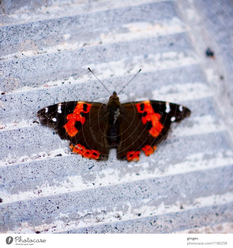 When butterflies take a break... Animal Butterfly Wing 1 Gray Red Black White Pattern Feeler Stone Stone floor Furrow Small Motionless Floor covering serrated