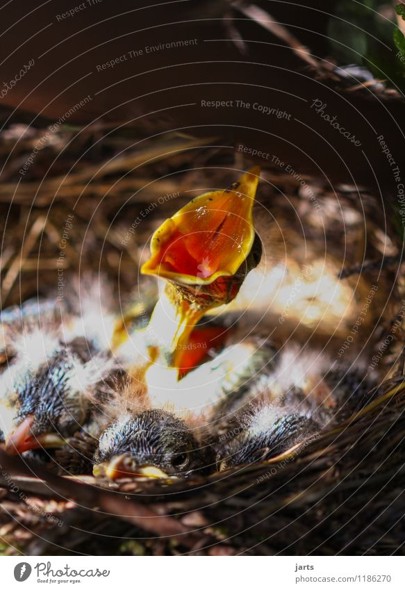 solo Plant Animal Spring Beautiful weather Wild animal Bird 4 Baby animal Scream Nature Individual Blackbird Chick Nest Loud Sing Neck Beak Colour photo