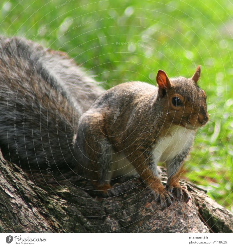 Favourite animal: squirrel! Part 4 Squirrel Paw Bushy Sweet Small Cute Tree Meadow Grass Toronto Park Speed Brown Pelt Rodent Mammal Be confident Brash Ear Nose