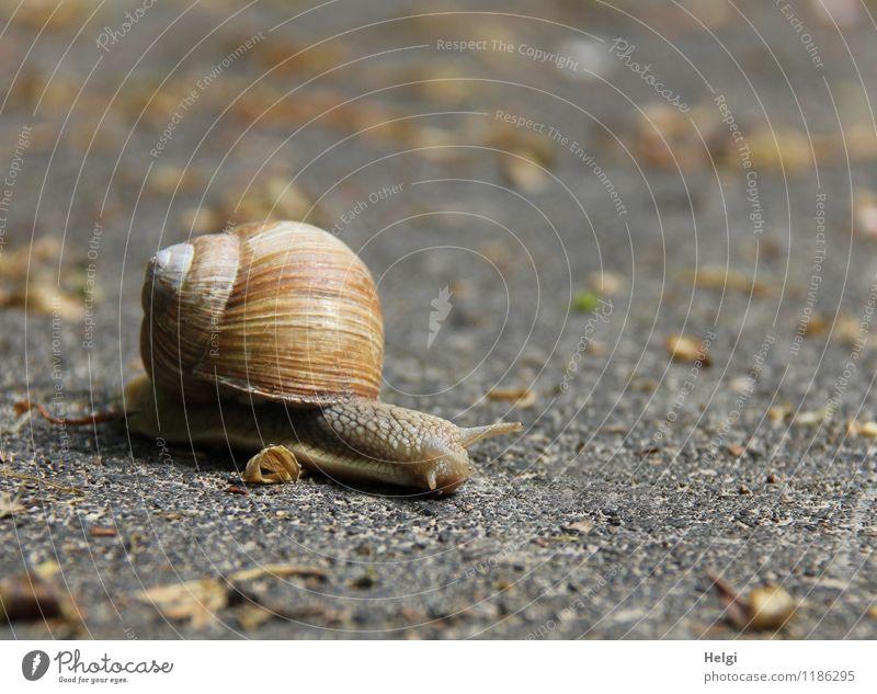 a long way... Street Animal Wild animal Snail Vineyard snail 1 Movement Small Natural Brown Gray Attentive Dangerous Resolve Life Nature Environment
