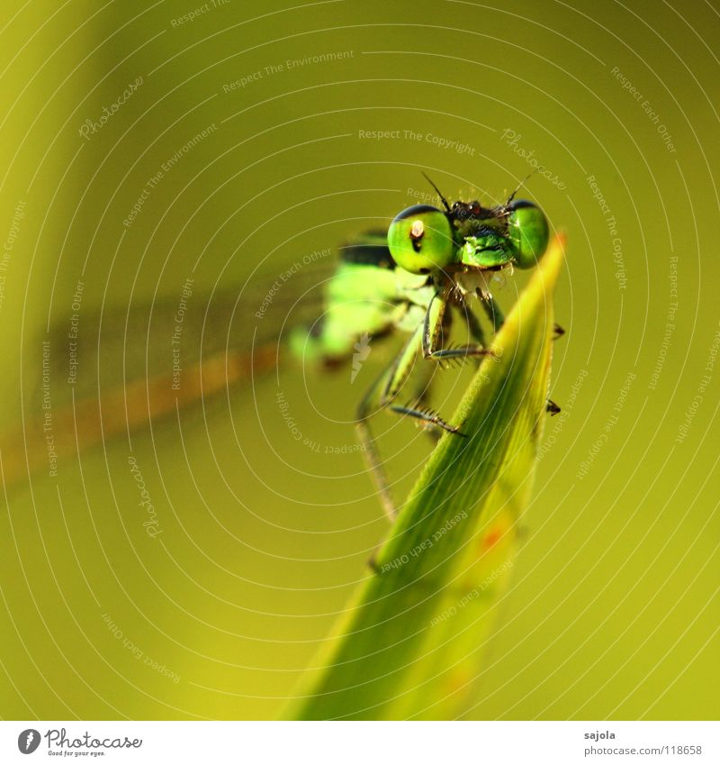 small dragonfly Animal Wild animal Animal face Wing 1 Observe Looking Wait Thin Green Small dragonfly Dragonfly Compound eye Eyes Legs Ischurna dragonfly Asia