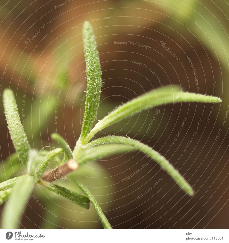 Kitchen Herbs and spices Mediterranean Evergreen plants Labiate Dead-nettle