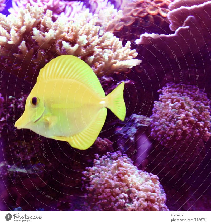 fish Aquarium Ocean Yellow Red Algae Coral Fish Animal Plant Water Underwater photo Barn sea lemonfish Swimming & Bathing