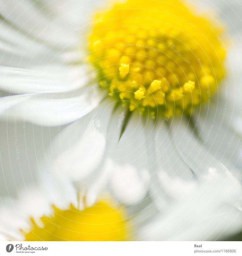 daisies Nature Plant Spring Summer Beautiful weather Flower Wild plant Daisy Meadow Yellow White Joie de vivre (Vitality) Spring fever Blossom leave
