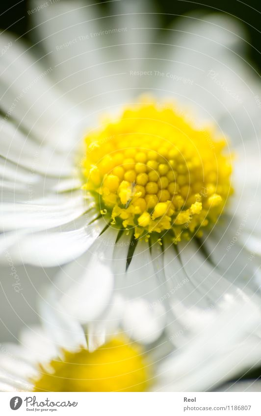 daisy II Nature Plant Spring Summer Daisy Meadow Growth Yellow White Spring fever Flower Blossom leave Blossoming Wild plant Flower meadow