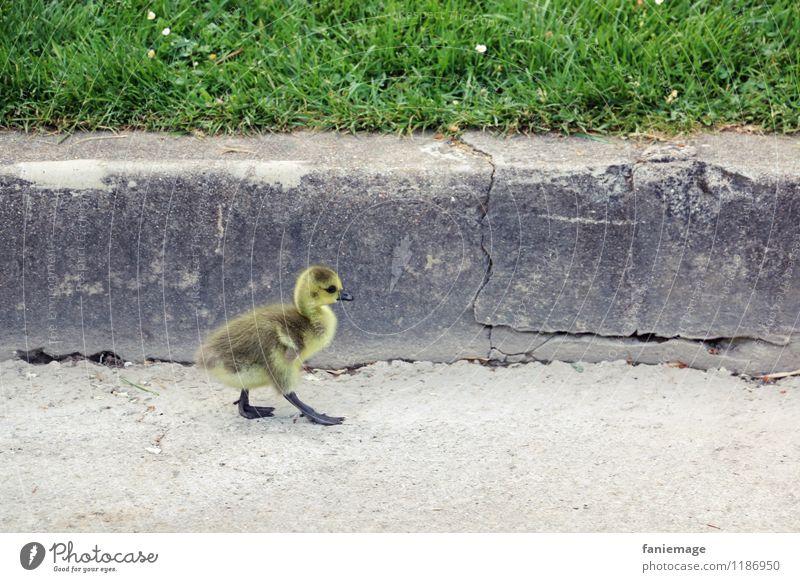 chick walk Animal Bird Going Swagger Chick Goose Catwalk Yellow Brown Gray Green Jardin d'Acclimatation Garden Park Lanes & trails Curbside Running sports