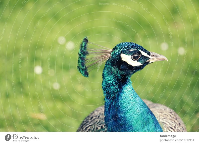 le plus beau du quartier Nature Park Meadow Animal Bird Blue Gray Green White Peacock Conceited Bright green Metal coil Headdress Feather Turquoise Pride