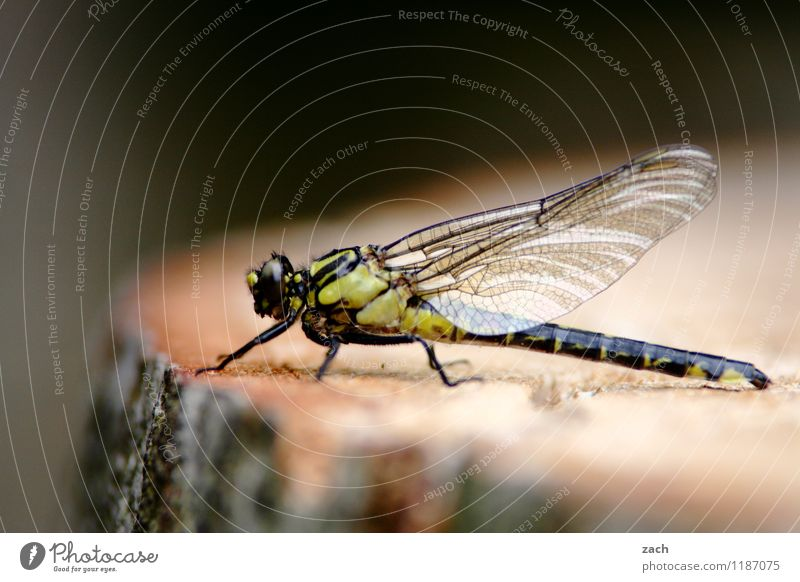 lunch break Plant Tree Tree stump Tree trunk Forest Animal Wild animal Insect Dragonfly Dragonfly wings 1 Flying Sit Wing Colour photo Exterior shot