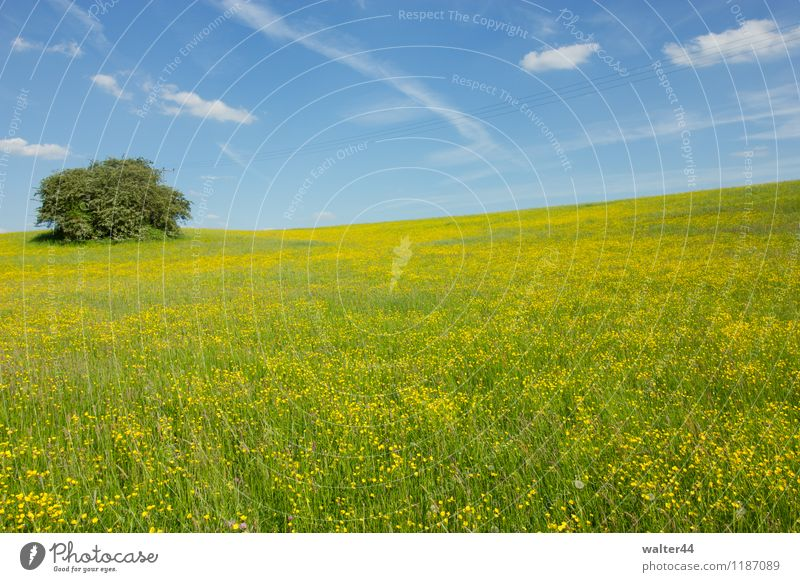 Yellow Sea Nature Landscape Plant Sky Clouds Sunlight Spring Beautiful weather Warmth Tree Flower Grass Agricultural crop Wild plant Meadow Hill Deserted