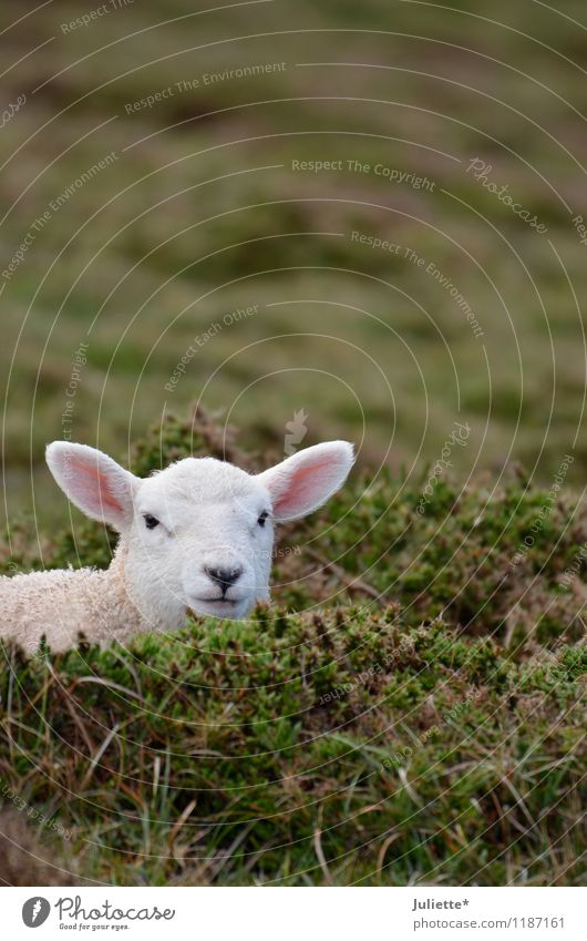 s´Lämmle Nature Landscape Earth Spring Meadow Field Animal Lamb Sheep 1 Baby animal Vacation & Travel Life Curiosity Watchfulness Calm Hide Pelt White Pink