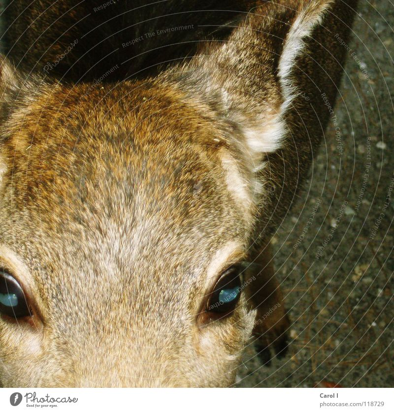 Blue White Red Winter Nutrition Eyes Cold Freedom Line Wild animal Soft Curiosity Ear Pelt Zoo Appetite