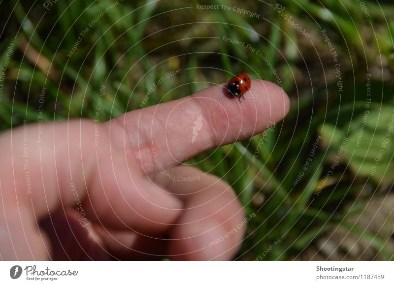 Ladybug 1 Nature Spring Grass Meadow Accessory Animal Beetle Flying Sit Elegant Small Near Red Trust Safety Sympathy Friendship Freedom Fingers Hand flown to