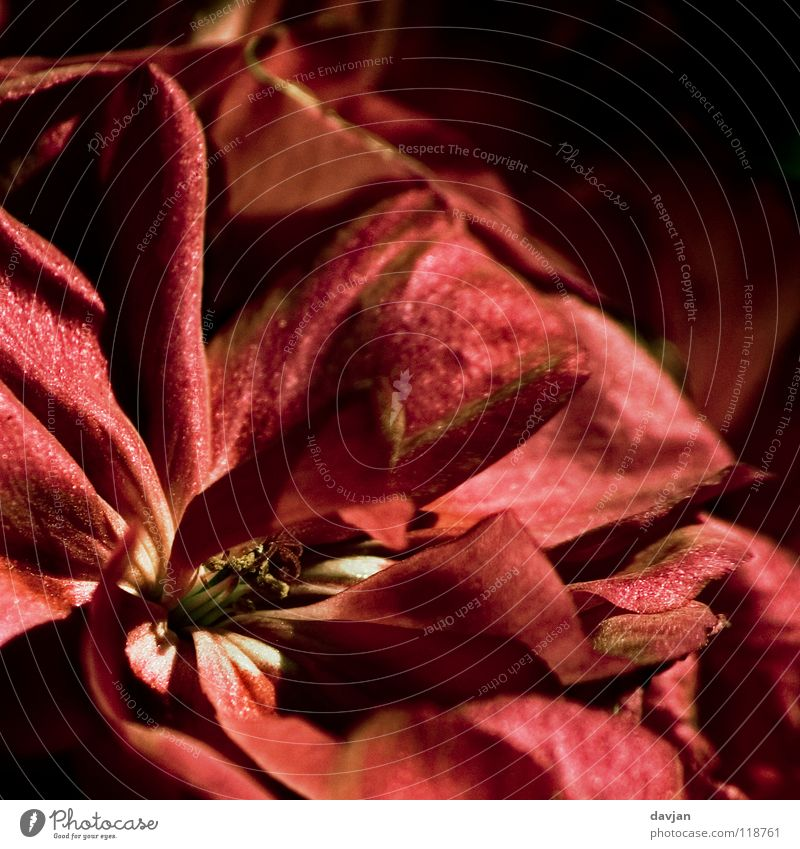 Old Flower Red Black Blossom Transience Blossom leave Calyx Enlarged