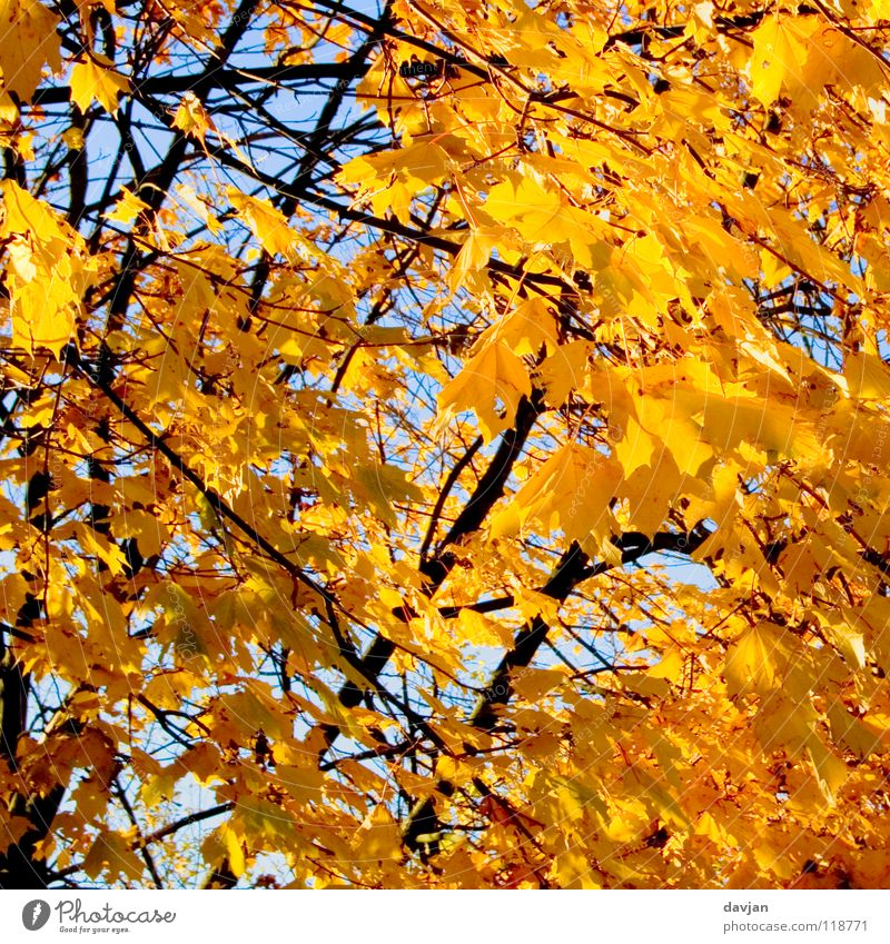 Beautiful Sky Tree Leaf Yellow Autumn Orange Branch