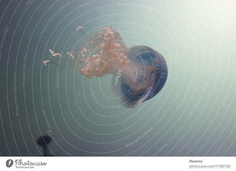 Jellyfish II Animal Aquarium 1 Sleep Swimming & Bathing Colour photo Interior shot Evening