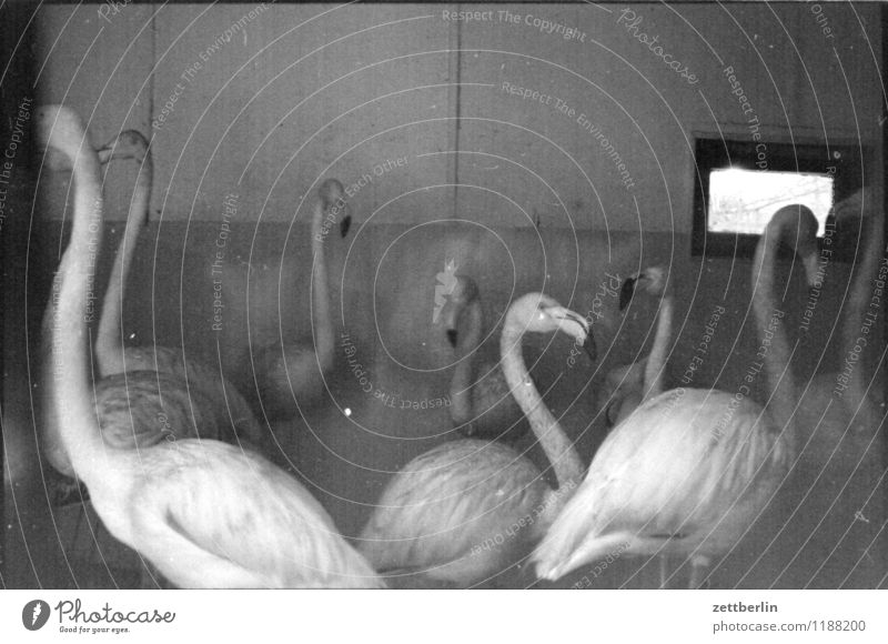 Flamingos, 1984 Bird Exotic Zoo Enclosure Penitentiary Captured Winter garden Winter festival Quarter Bird's cage Copy Space Black & white photo Gloomy Sadness
