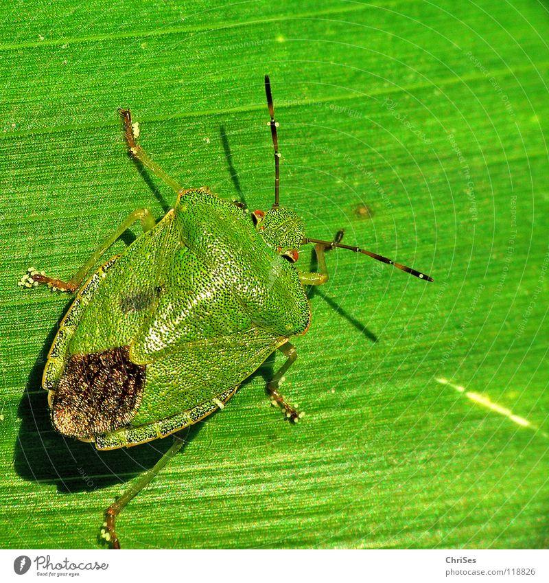Green Blue Leaf Animal Fear Insect Odor Panic Northern Forest Bug Shield bug Green shieldbug