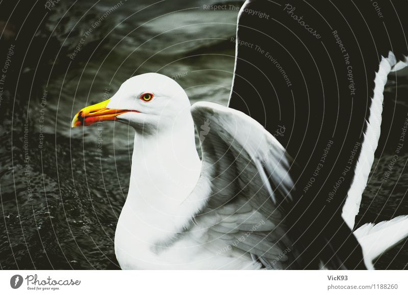 seagull Environment Nature Animal Air Water Island Lake Wild animal Bird Wing Seagull Gull birds 1 Swimming & Bathing Flying Pride Freedom Ease Colour photo