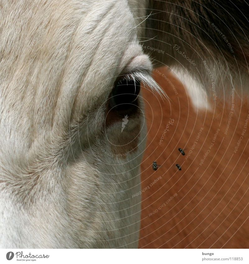 Animal Eyes Skin Wait Flying Stand Ear Wrinkles Observe Pelt Cow Mammal Eyelash Cattle Mistrust Livestock