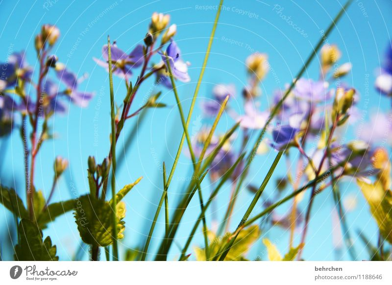 A breath of summer Nature Plant Sky Spring Summer Beautiful weather Flower Grass Leaf Blossom Wild plant Veronica Garden Park Meadow Field Blossoming Fragrance