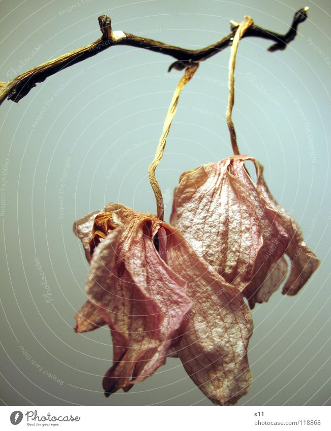 Old Flower Death Blossom Sadness Pink Gloomy Grief Transience Violet Stalk Hang Distress Past Orchid Dried up