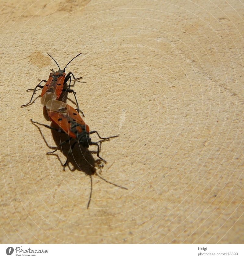 firebug Bug Firebug Animal Insect Propagation Hexapod Red Black Wall (barrier) Accessible Multiple South Sunbathing Physics Together Feeler Brown Legs