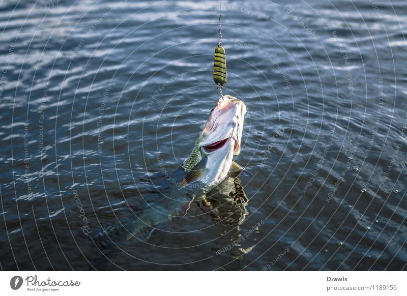 Asp on the hook Fish Predatory fish asp peace fish 1 Animal Water Catch Fight Throw Authentic Fresh Delicious Muscular Natural Slimy Speed Beautiful Wild Blue