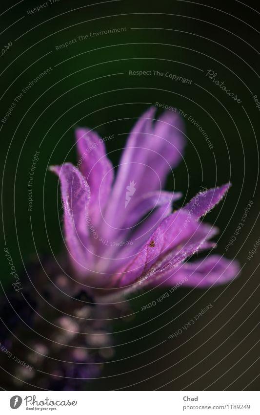 La Vendel Nature Plant Spring Blossom Exotic Lavender Discover Relaxation Looking Fragrance Dark Violet Black Moody Joie de vivre (Vitality) Spring fever