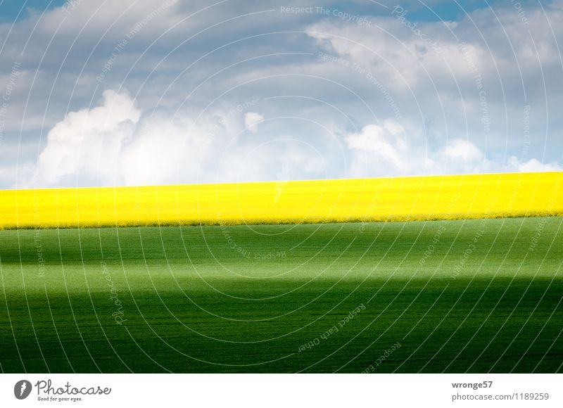 early summer Environment Landscape Plant Earth Air Clouds Horizon Spring Beautiful weather Agricultural crop Canola Canola field Oilseed rape flower Wheat