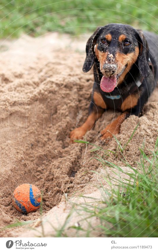 Dog Nature Joy Animal Environment Meadow Grass Playing Happy Sand Leisure and hobbies Joie de vivre (Vitality) Cute Ball Pet Animal face