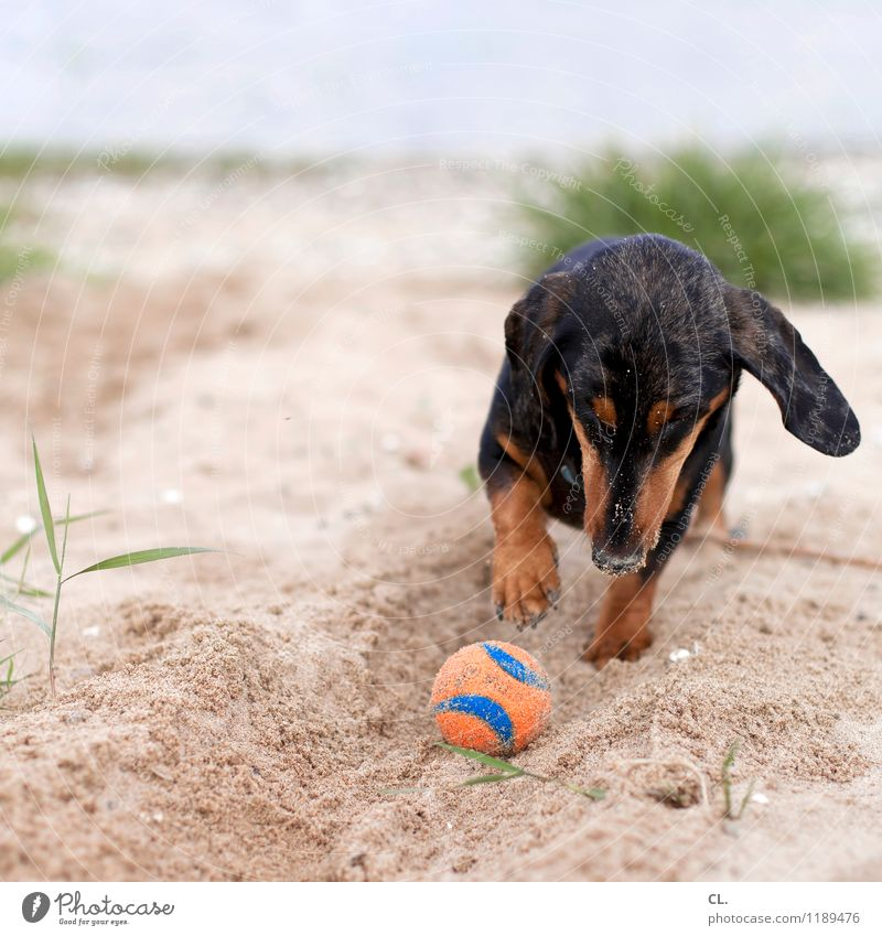 dig Leisure and hobbies Playing Environment Nature Sand Grass River bank Beach Animal Pet Dog Animal face Paw Dachshund 1 Ball Happiness Cute Joy
