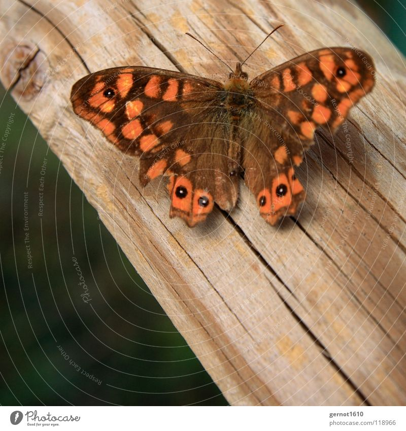 Red Wood Brown Orange Wing Insect Butterfly Animal Flying insect