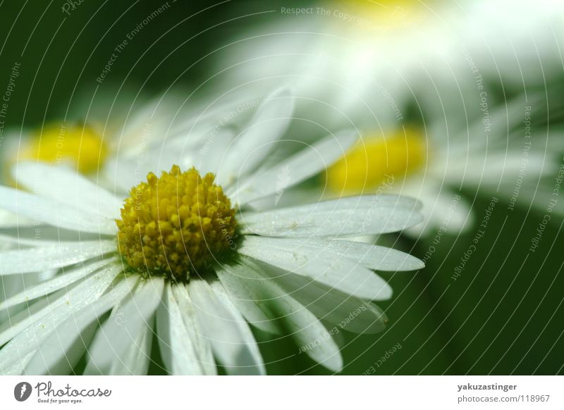 White Flower Summer Yellow Meadow Spring Daisy Blossom leave