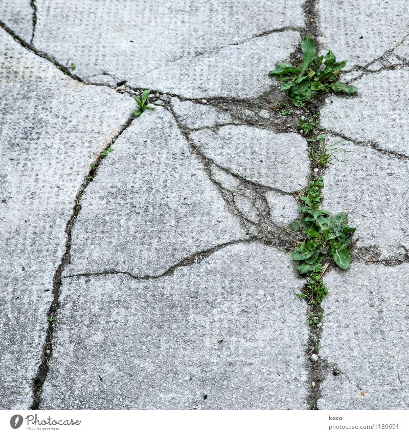 Cracks in asphalt Environment Nature Plant Earth Spring Summer Grass Leaf Foliage plant Dandelion Wall (barrier) Wall (building) Street Lanes & trails Stone