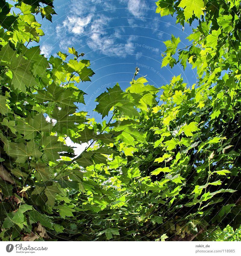 outlook Sparkling wine Eltville Rhine Alcohol-fueled Wake up Sleep Tingle Tree Leaf Clouds White Green Insight Leaf canopy Rheingau Shadow Cold Fresh Summer