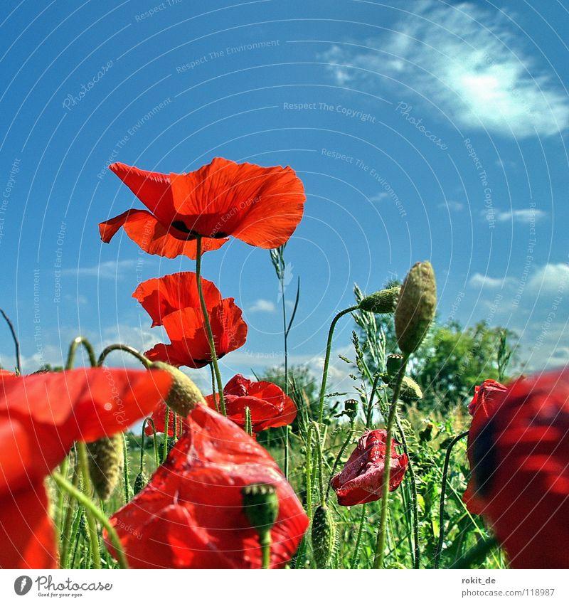 gossiping poppy Poppy Red Green Meadow Corn poppy Stalk Blossom Summer Comforting Grass Clouds Bushes Flower Field Joy wind-pollination milk juice Blue Sky Seed