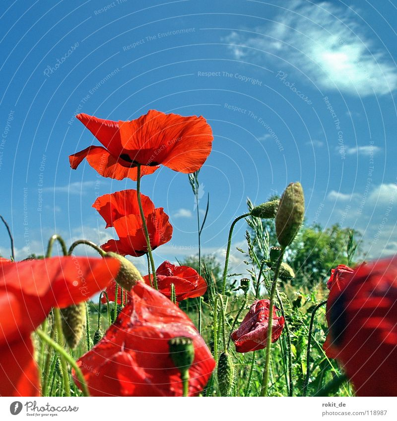Sky Flower Green Blue Red Summer Joy Clouds Meadow Blossom Grass Field Bushes Stalk Poppy