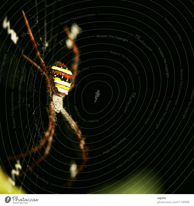 argiope Nature Animal Virgin forest Spider 1 Stripe Net Yellow Red Black Striped Legs Head Orb weaver spider Singapore Spider's web Asia Sewing thread