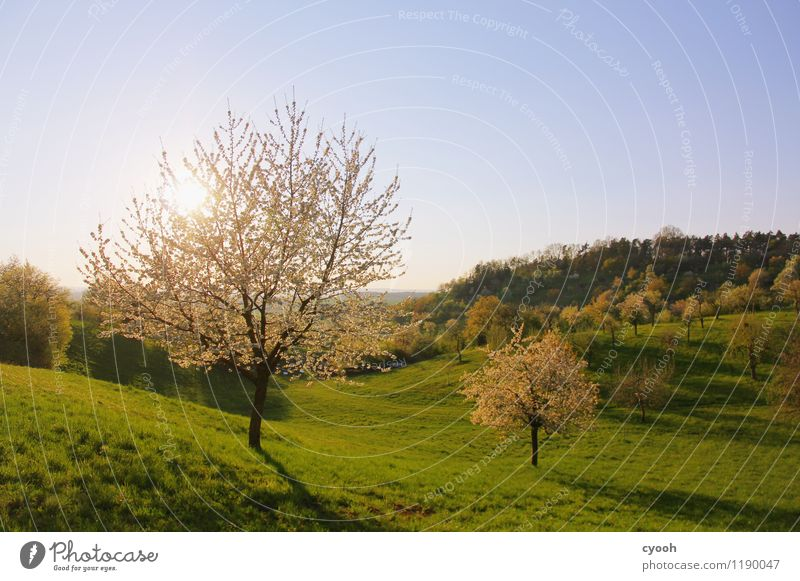 glowing trees Cloudless sky Spring Beautiful weather Tree Blossom Blossoming Illuminate Free Fresh New Soft Blue Green White Spring fever Contentment Energy
